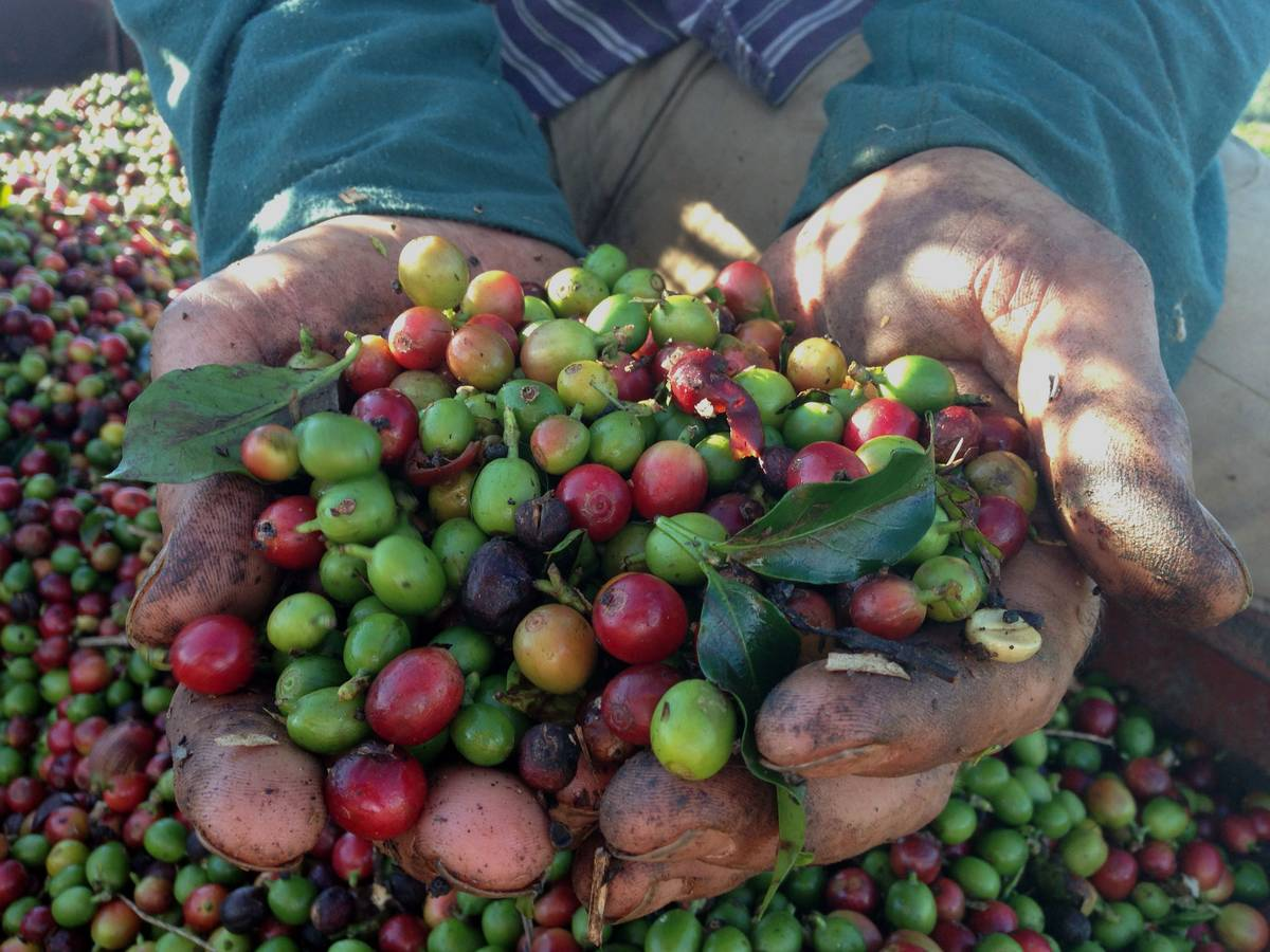 Brasil Coffee In Hands